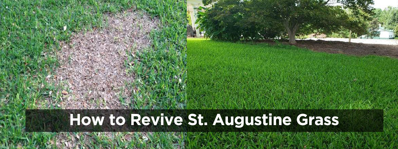 How to Revive St Augustine Grass