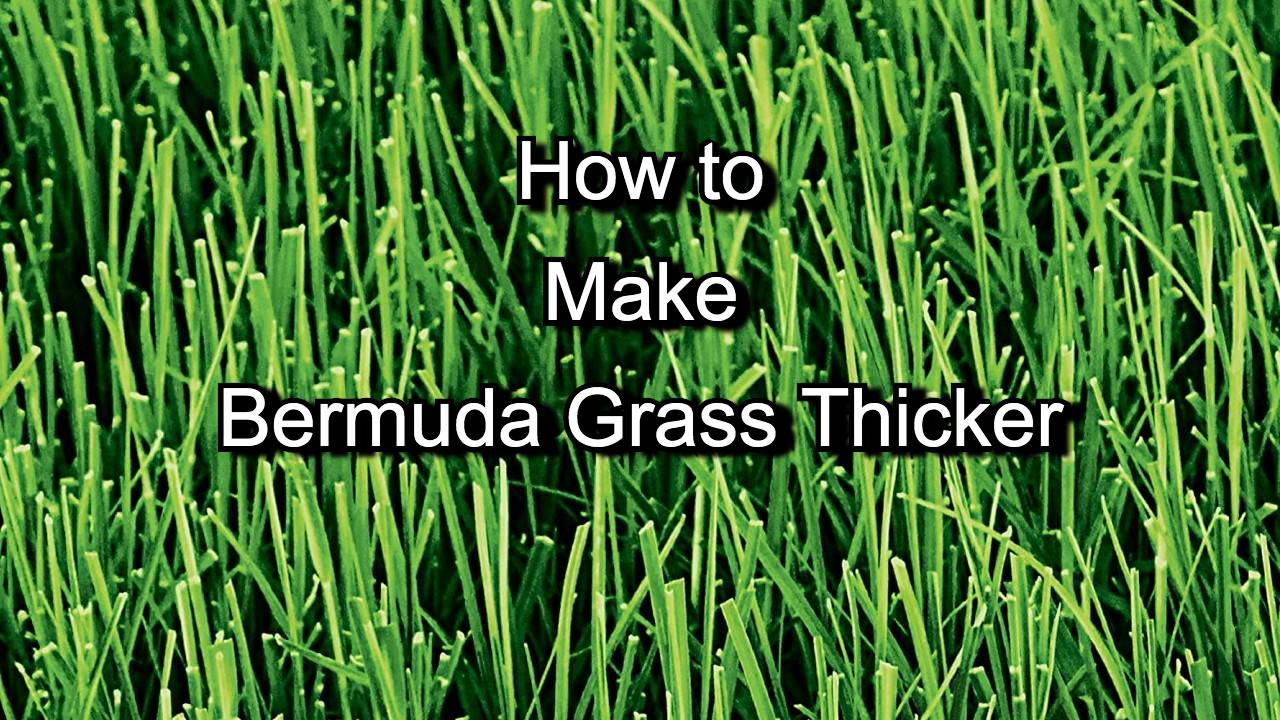 How to make bermuda grass thicker
