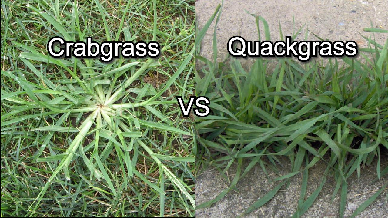 grabgrass vs quackgrass