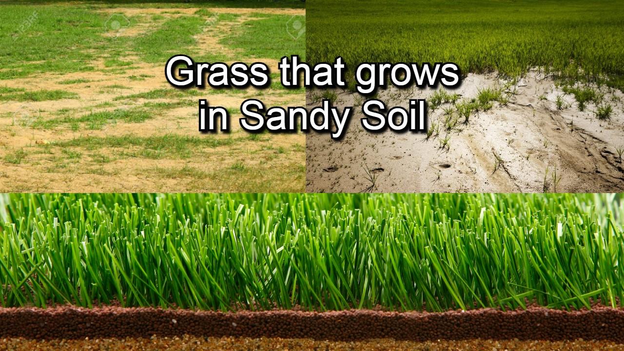 Grass that grows in sandy soil