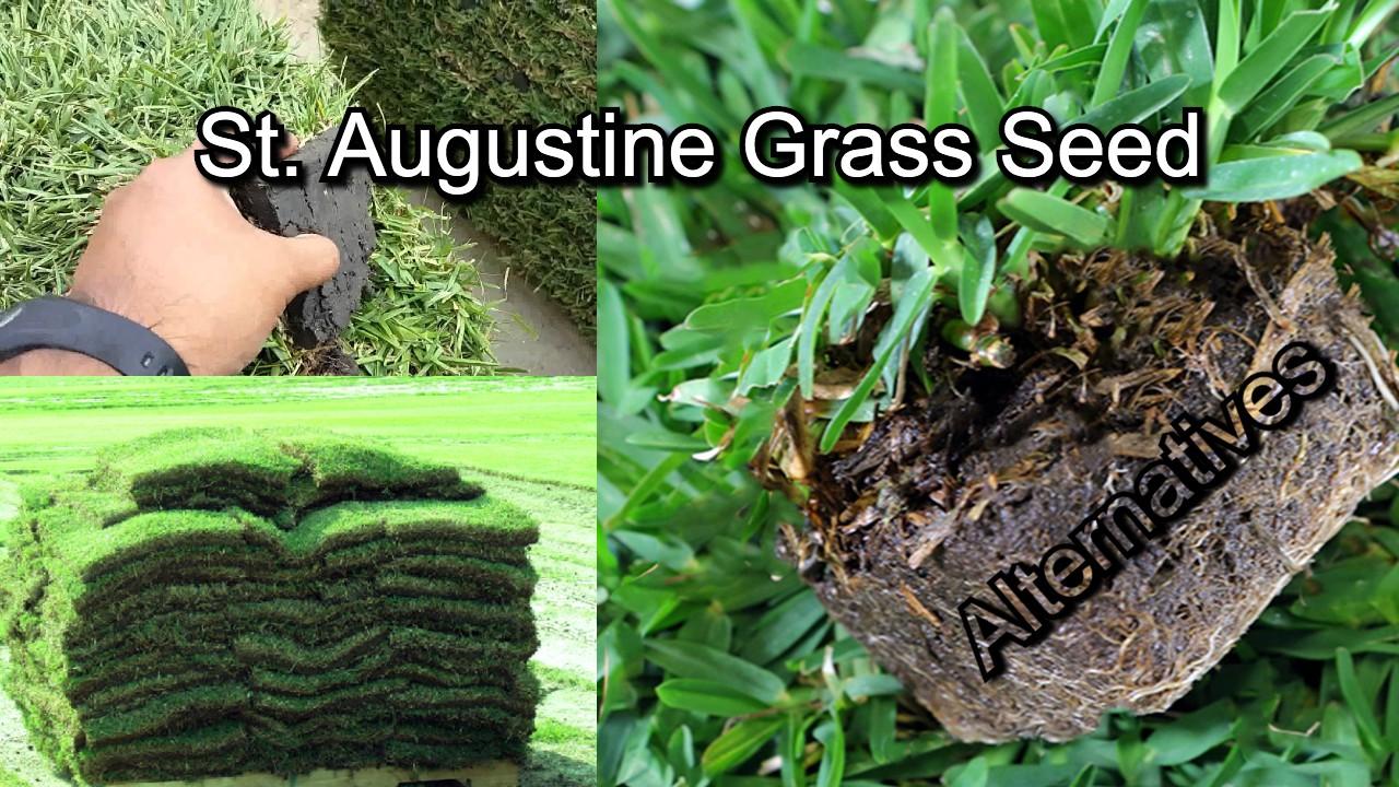 St. augustine grass seed