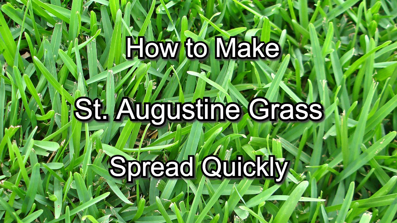 how to make st. augustine grass spread quickly