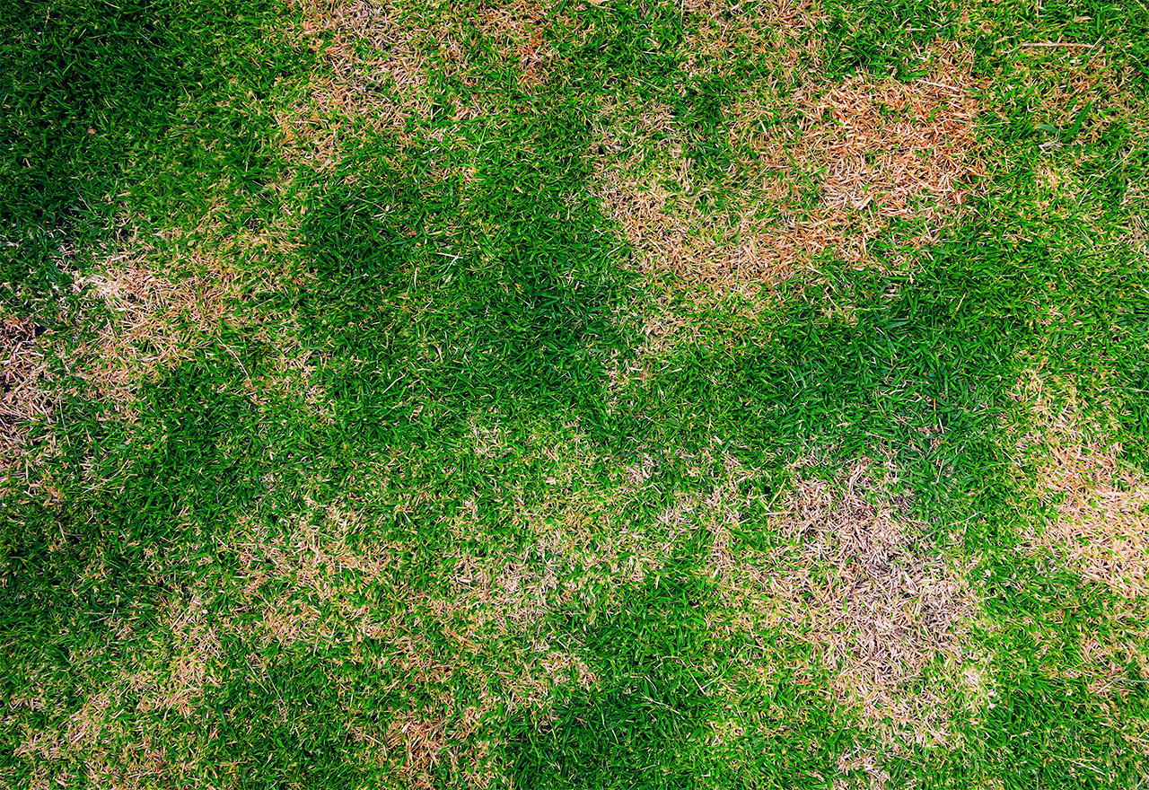 Grub damage on your lawn