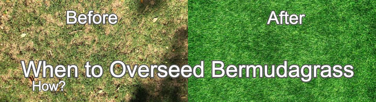 When to overseed bermuda grass