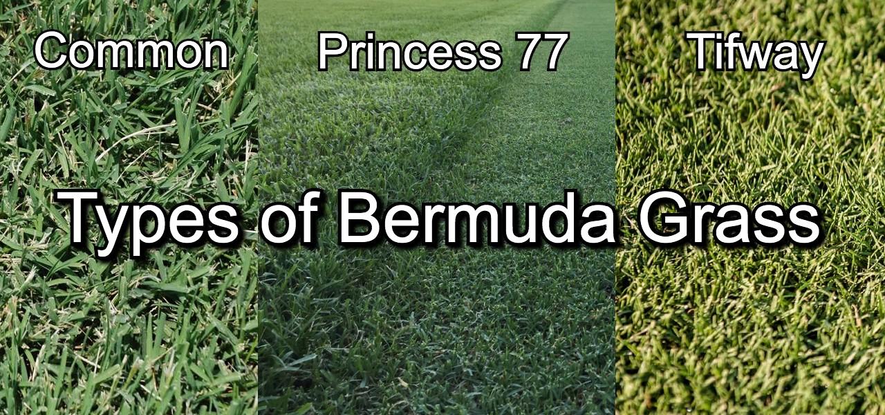 types of bermuda grass