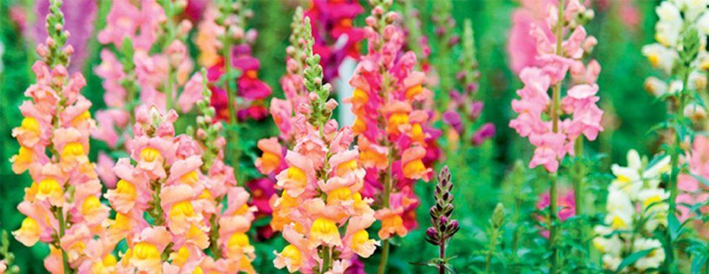 Snapdragons colorful flower for spring