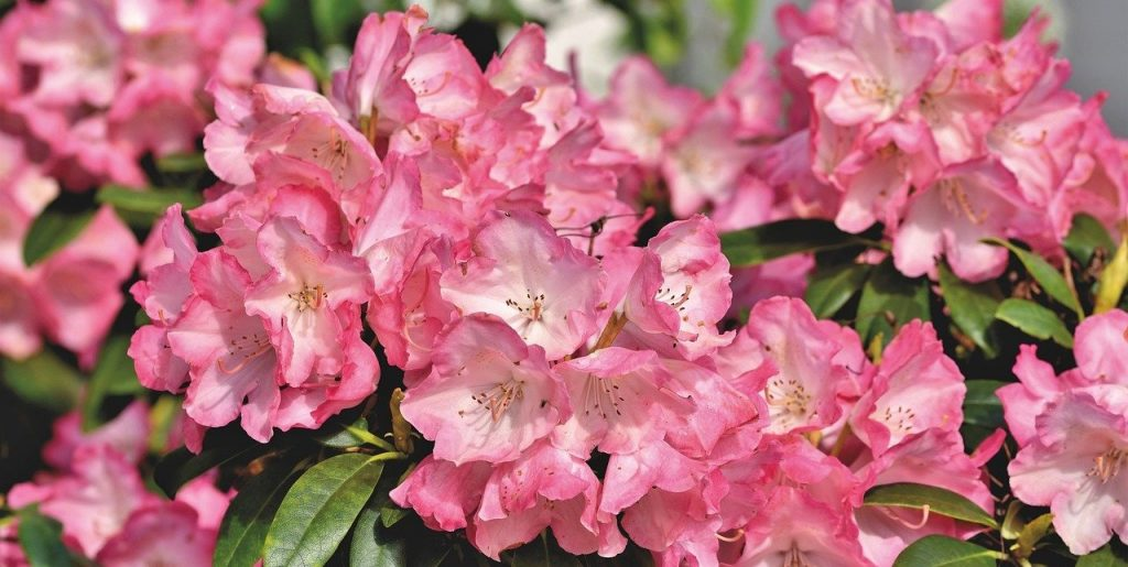 Rhododendron are great for planting in spring