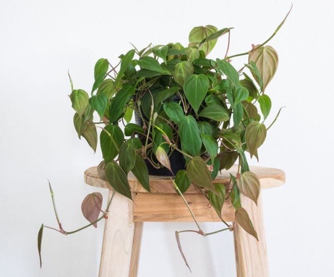 Heartleaf Philodendron, Hederaceum Philodendron